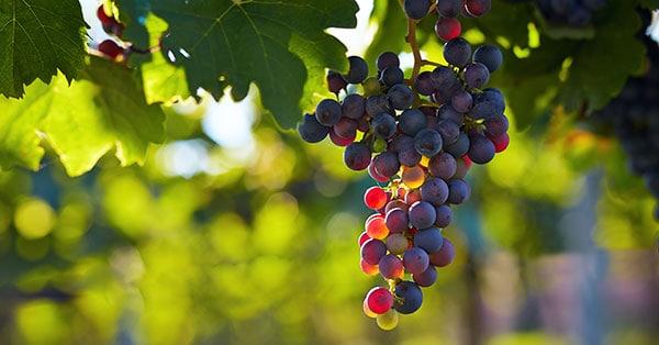 Posavje, vinorodni okoliš Bizeljsko