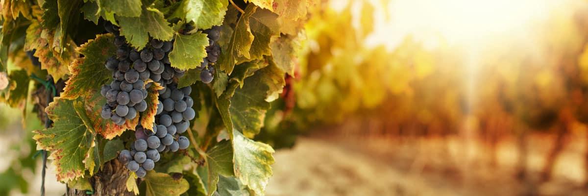 Prodaja vina Deliz vinoteka