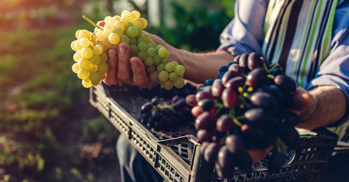 Belo in rdeče grozdje