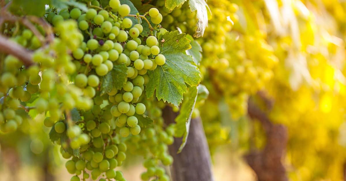 Beli pinot vinska sorta