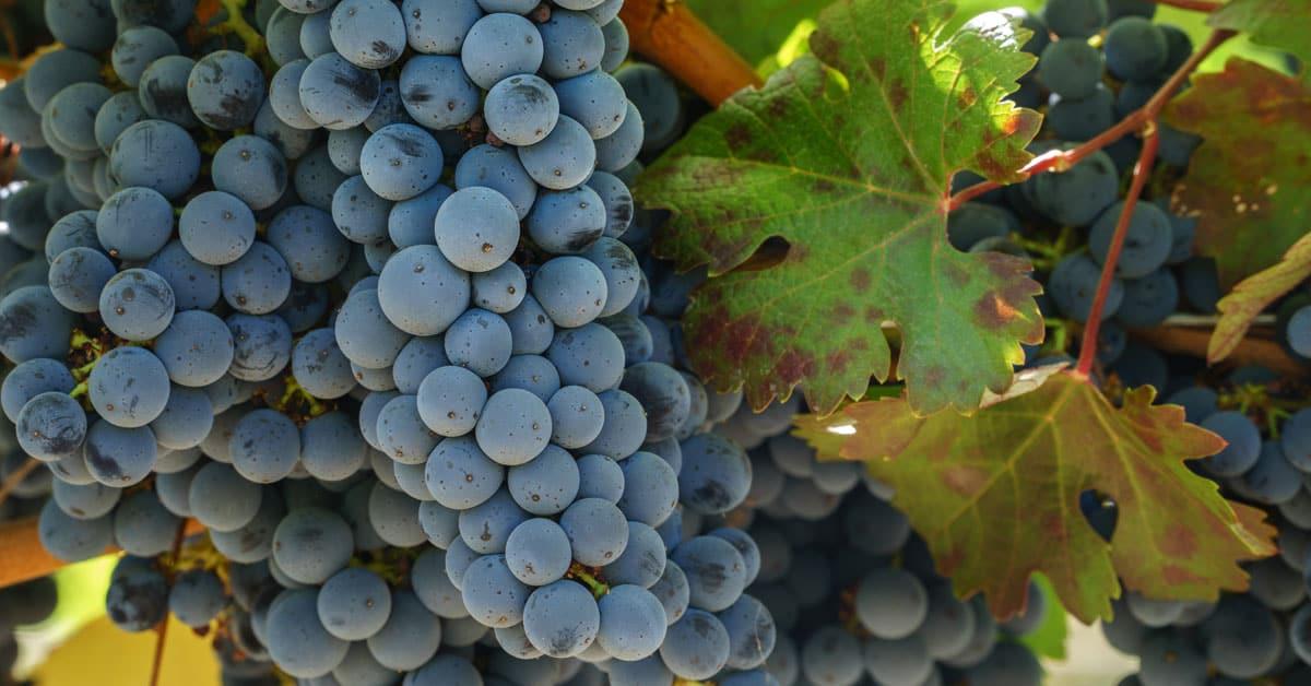 Cabernet Sauvignon vinska sorta