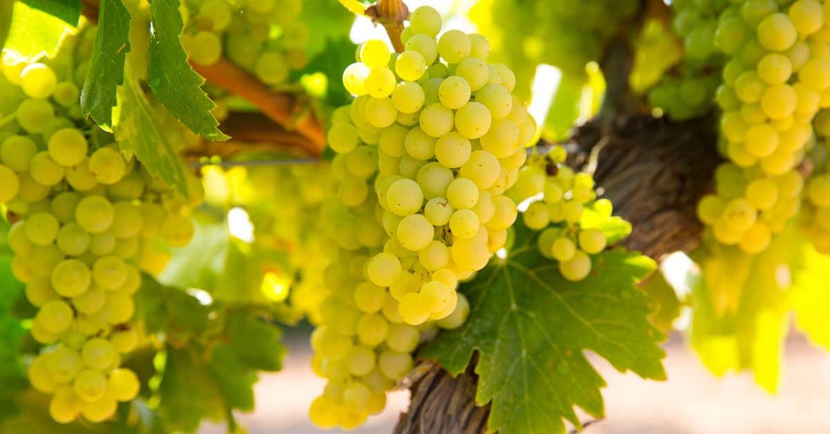 Chardonnay vinska sorta