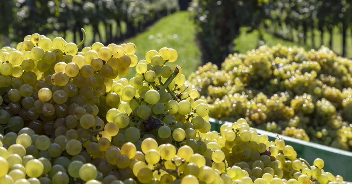 Laški rizling vinska sorta