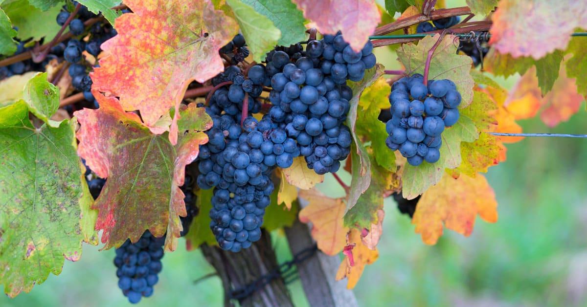 Modra frankinja vinska sorta
