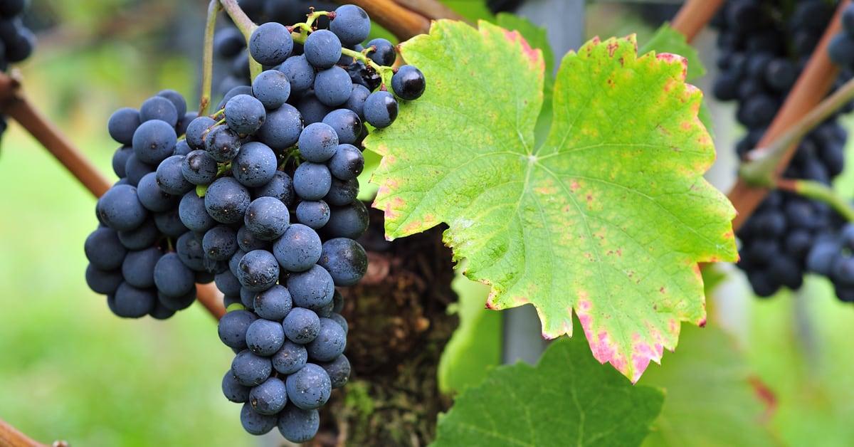 Modri pinot vinska sorta