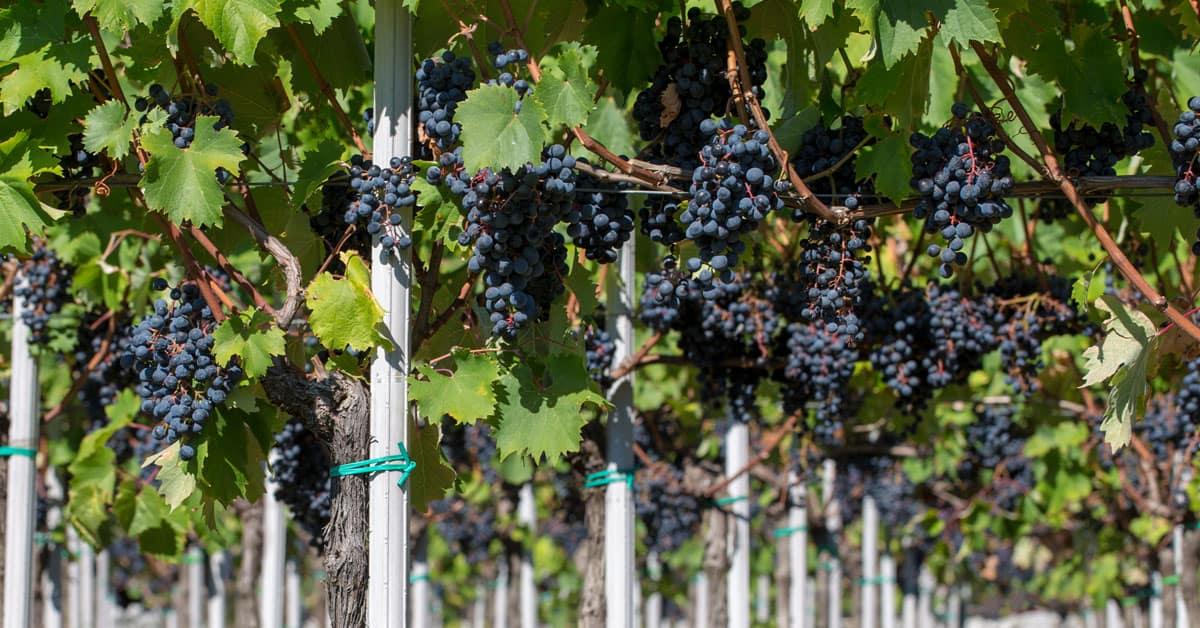 Refošk vinska sorta