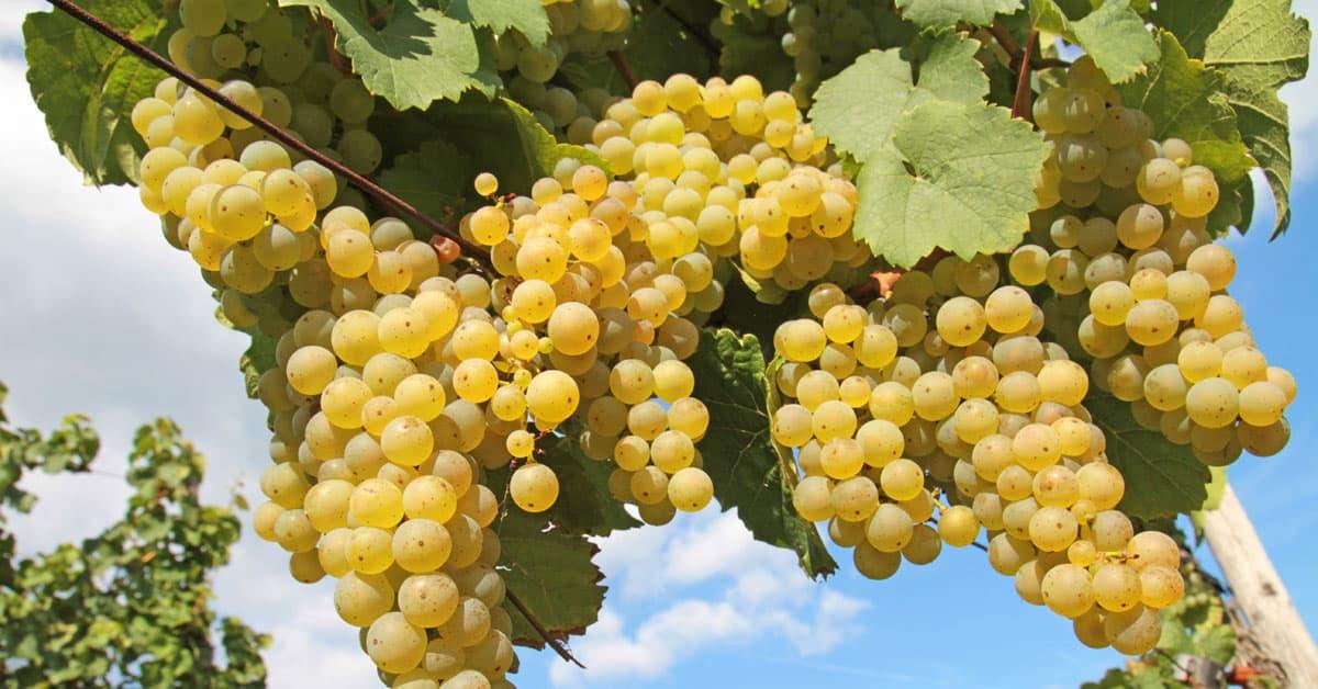 Renski rizling vinska sorta