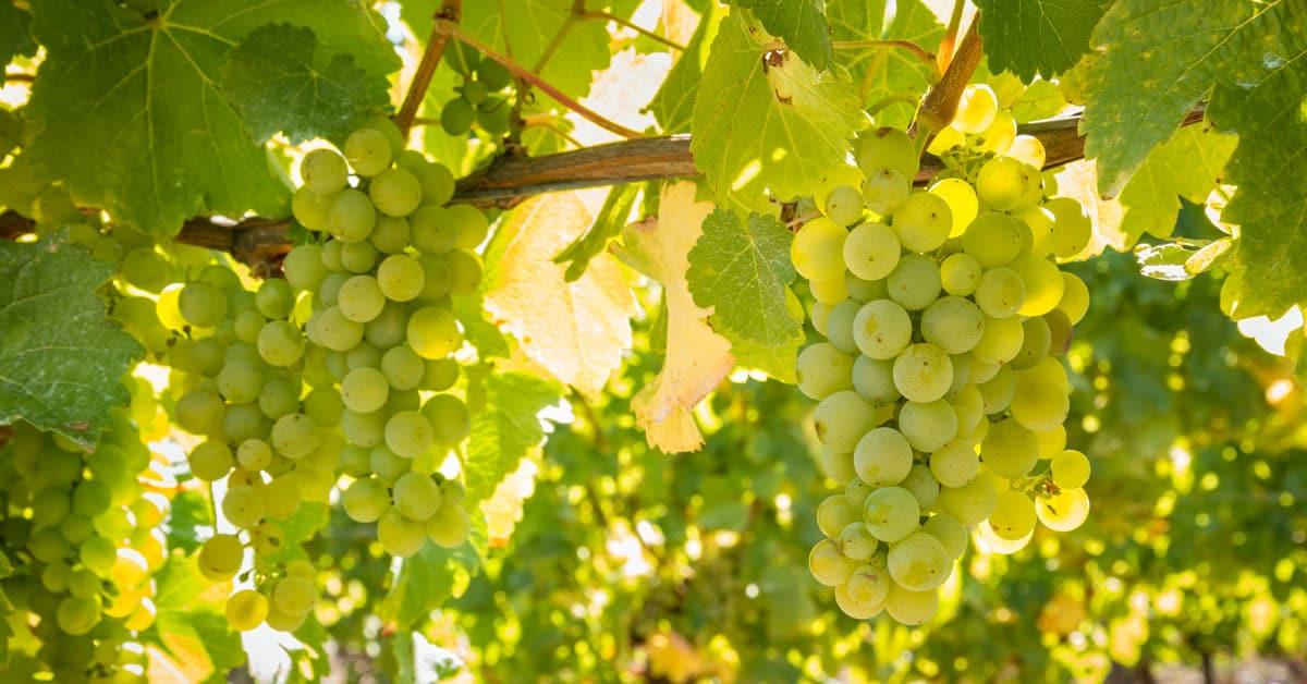 Sauvignon blanc vinska sorta