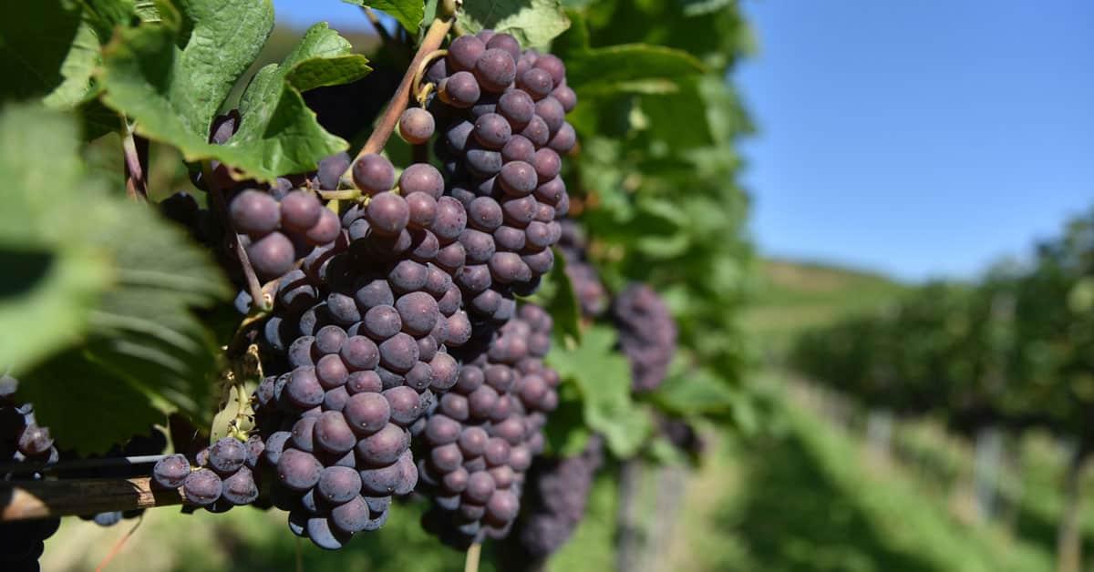 Sivi pinot vinska sorta