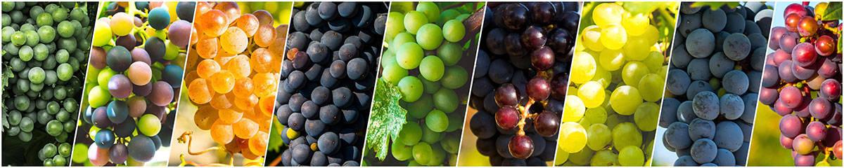 Vinske sorte - vodič